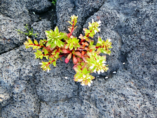 Flowers growing in the lava