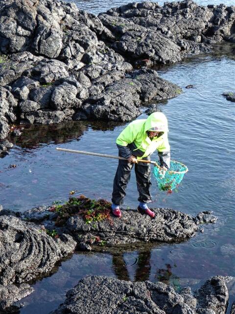 Woman gathering seaweed