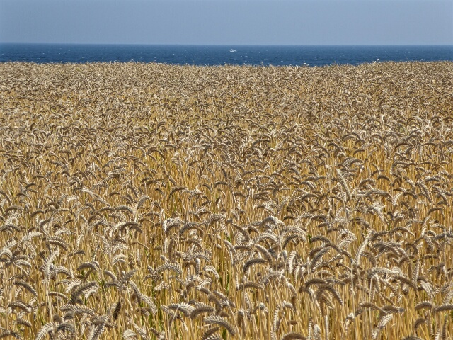 Barley growing by the sea