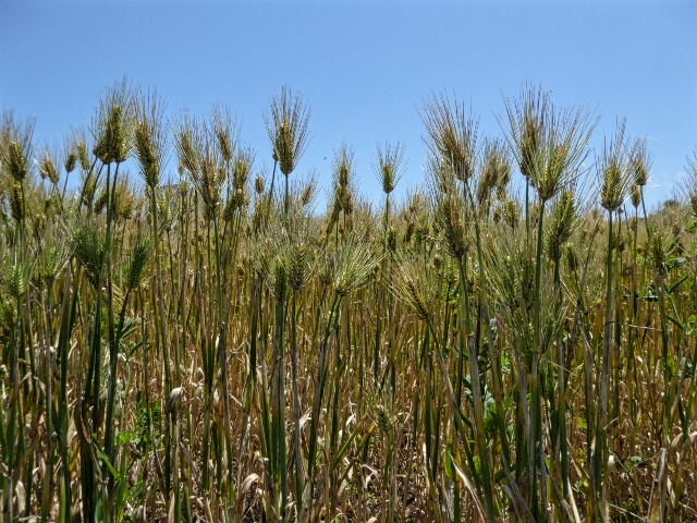 Barley is the only crop grown here