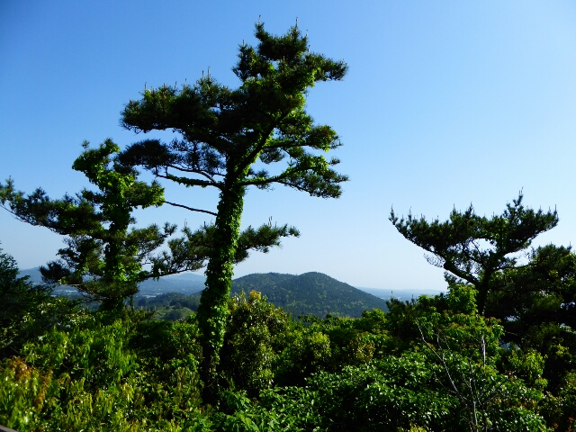 Korean Black Pines on the top of the Mang-oreum (175m)