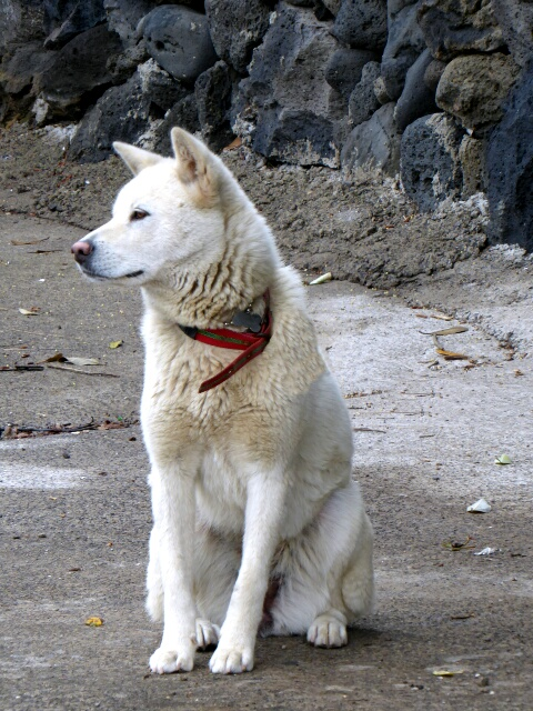 There are many Korean Jindo dogs on Jeju, beautiful dogs