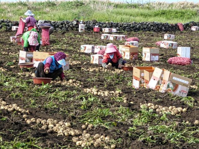 Potato pickers - used to make Soju, Korea's favorite alcohol