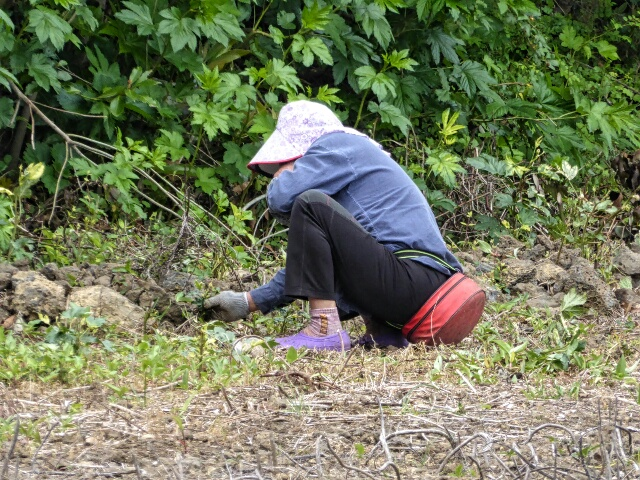 Woman weeding - she squats on a pad attached to her waist