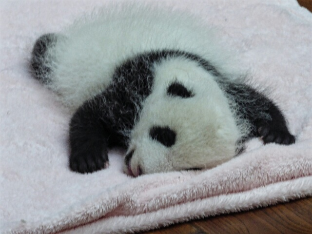 Baby panda, about 2 months old, on his blanket