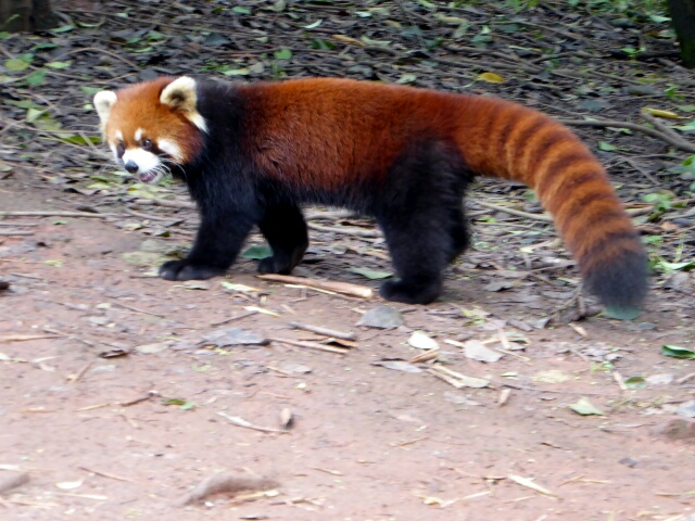 Red Panda's colouring helps protect them from predators