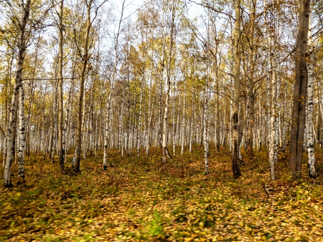 Lake Baikal birch forest turning yellow