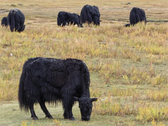 Yaks feeding on the grasslands