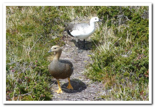 A pair of ducks on the path