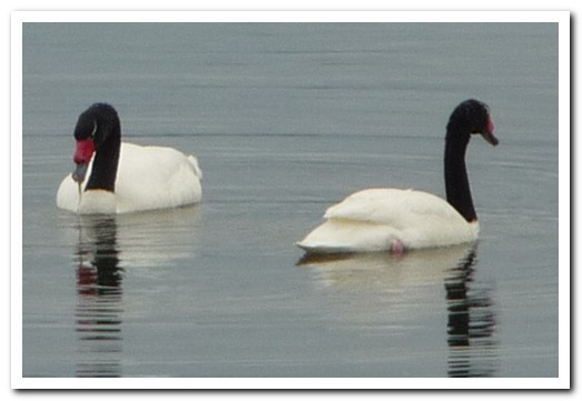 Black neck swans