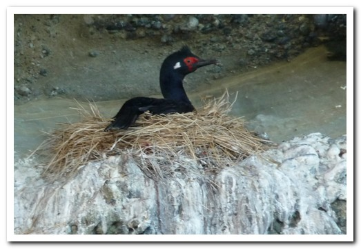 Rock cormorant on a cliff top nest