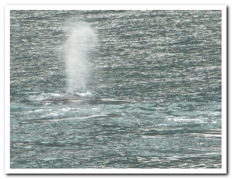 Whale´s blow