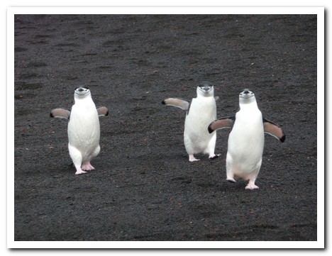 Three chinstrap penguins