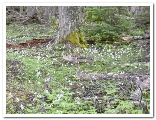 A carpet of ground orchids in the forrest