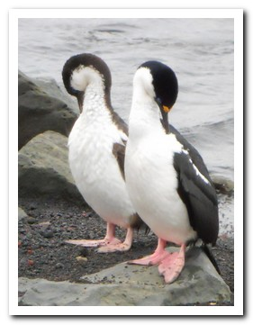Two cormorants preening