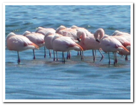 Flamingoes at El Calafate
