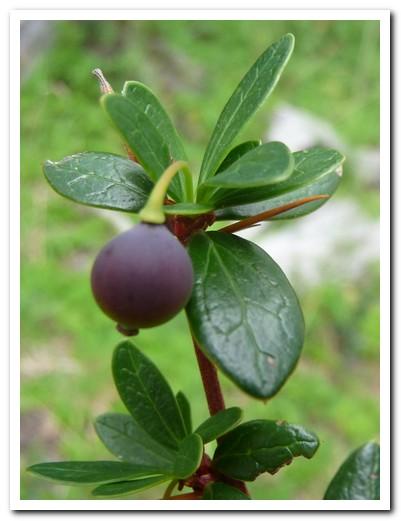 Calafate berry - tasty