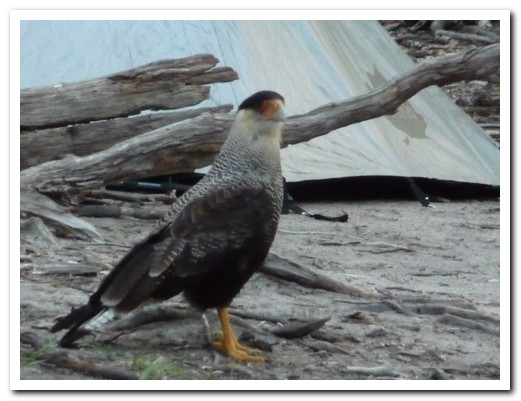 A big bird picking around the camp site