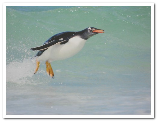 Gentoo in the surf