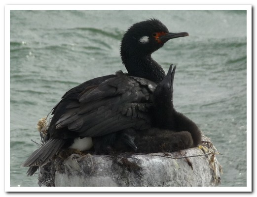 Rock Cormorants - mother and chick, plus egg