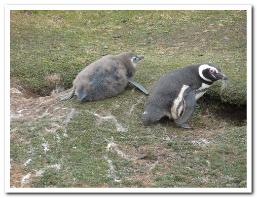 Magellan Penguin with chick, near their burrows