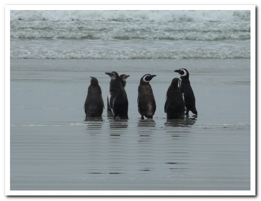 Magallen Penguins on the beach