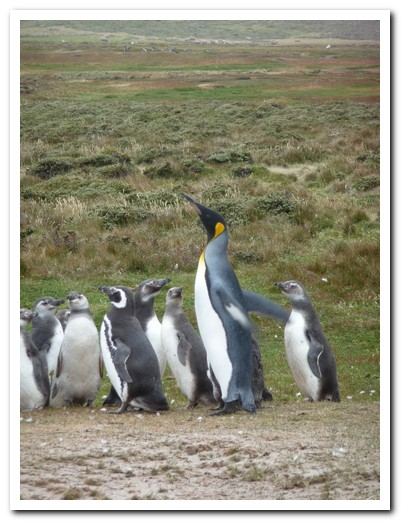 The King Penguin with his little followers (Magellans)