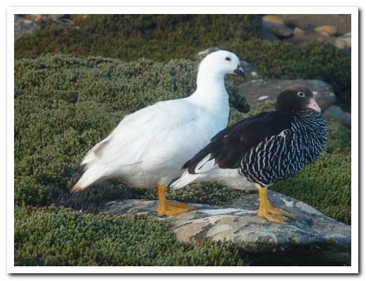 A pair of Kelp Geese