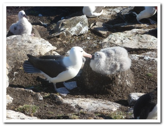 Albatross & chick on mud nest