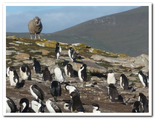 Sheep and penguins live happily together