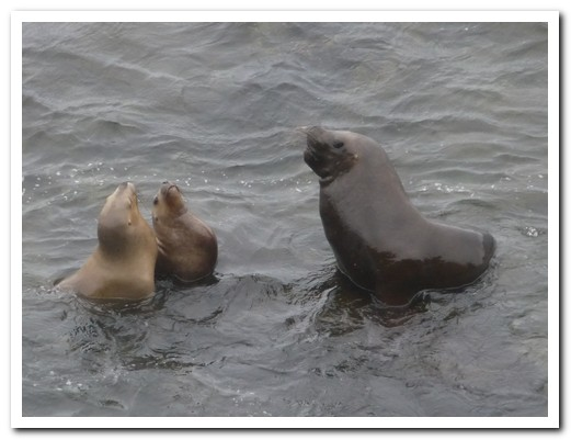Sea Lion playing with her pups
