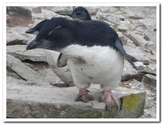 Baby Rockhopper Penguins in gale force winds