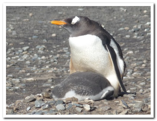 Gentoo baby is getting a bit too big
