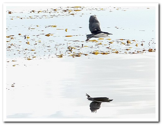 Flying duck reflected in the calm waters