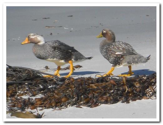a pair of Steamer Ducks