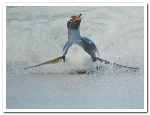 Gentoo coming out of the surf