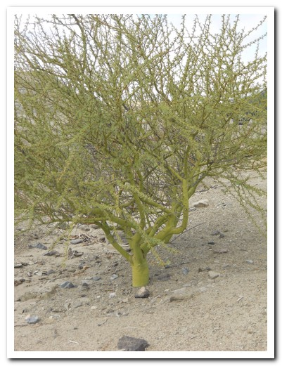 Chlorophyl is produced in the trunk and branches of these desert bushes