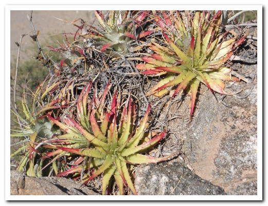 Bromeliads growing in the rocks at Quilmes