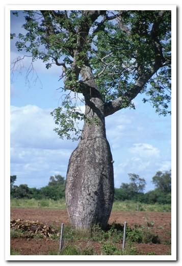 The spiny bottle tree - palo borracho (drunken tree)