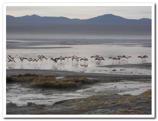 Flamingos take off from Laguna Colorada