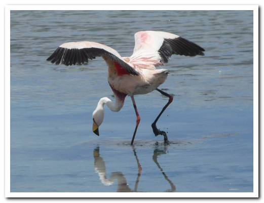 One of the 5 species of flamingo