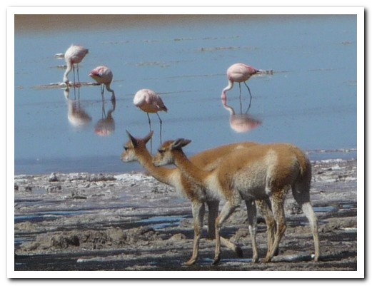 Vicuñas coming for a drink