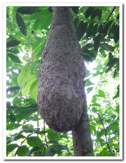 Termite nests attached to a tree