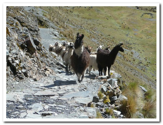 Llamas on the path
