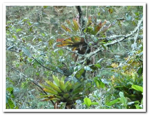 Bromeliads in the trees