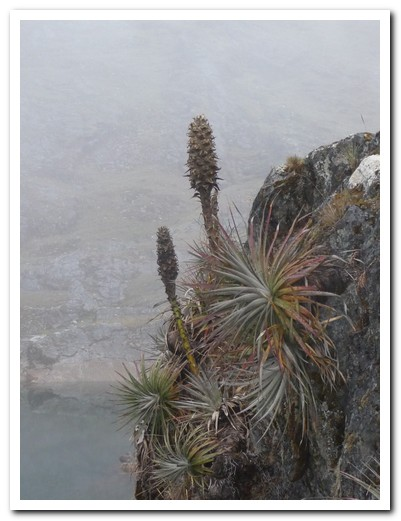 Bromeliads clinging to the rock
