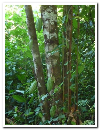 Wild cocoa growing in the jungle