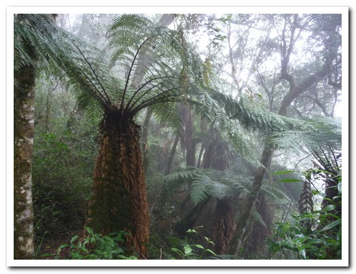 A forest of giant tree ferns, hundreds of years old