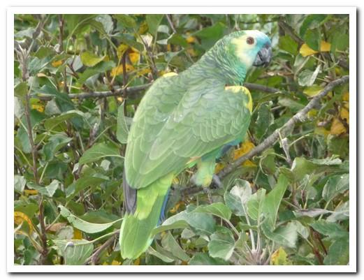 Common parrot