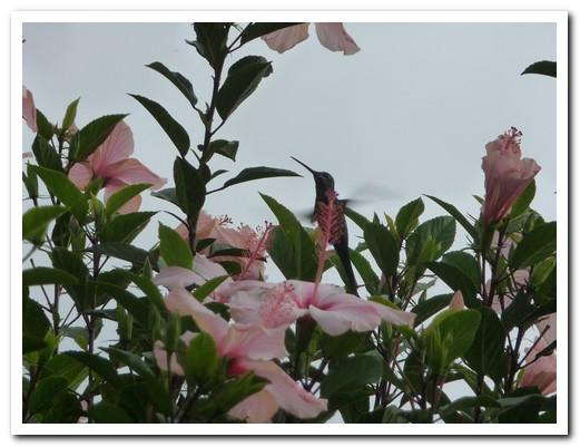 Tiny hummingbird in the hibiscus
